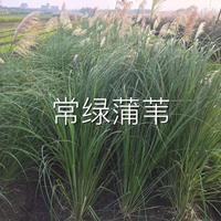 常绿蒲苇,蒲苇,芦苇,花叶芦苇,水生植物