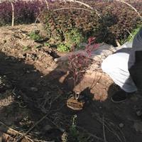 供应紫叶矮樱杯苗,紫叶矮樱工程用苗,哪里能买到紫叶矮樱