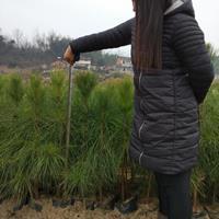 湖北地区容器袋湿地松树苗