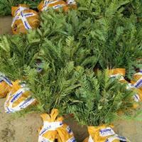 供应各种规格三尖杉苗木