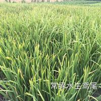 常绿水生鸢尾,千屈菜.马蔺.狼尾草.水生美人蕉.聚草、萍逢草