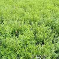 供应千屈菜.马蔺.狼尾草.水生美人蕉.聚草、萍逢草、野茭白、