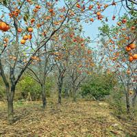 柿树价格、柿树批发、柿树供应