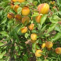 杏树价格、杏树批发、杏树供应
