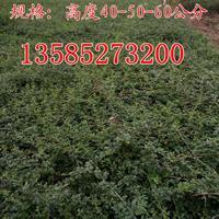 迎春苗高度40-50-60公分迎春花苗价格图片一、二年生迎春