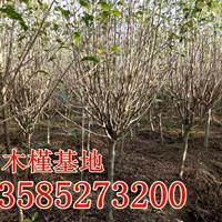 供应木槿(冠幅80-100-120公分)丛生木槿,丛生紫荆产