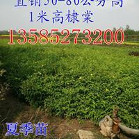 供应棣棠高度50-60-70-80公分棣棠工程苗价格图片棣棠