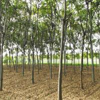 榉树去哪买 榉树苗木基地 量大优惠