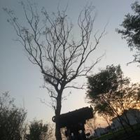 江苏苏州地区25公分朴树....30公分朴树