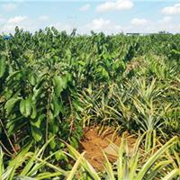 凤梨释迦苗木多少钱一株,这么好的亚热带水果苗木赶紧种植了?