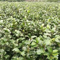 大量供应茶花树、苗