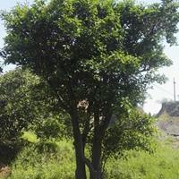 常山供应大规格移栽胡柚树(高5米地径39CM)