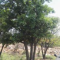 常山供应精品大规格移栽实生胡柚树(高6M 地径40CM)