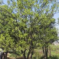 供应精品移栽胡柚树(高5M蓬径3.7M地径29CM)