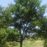 供应独杆胡柚树(高5M米径25CM 分支点1.6和1.2M)