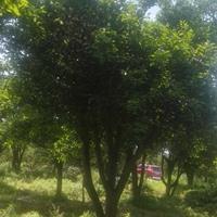 供应大规格实生移栽胡柚树(高4M地径42CM)