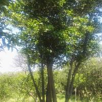 供应精品姊妹多杆丛生移栽胡柚树(2棵)