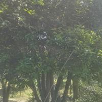 供应大规格实生移栽胡柚树(高5M地径38CM)