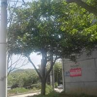 供应精品三叉戟式实生胡柚树(5.5M地径25CM分支点65)