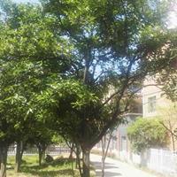 供应实生独杆移栽胡柚树(高4.5M米径20CM分支点120)