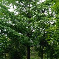广西桂林银杏树价格/15-40公分银杏树价格