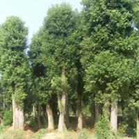 广西大香樟/胸径40-100公分香樟树