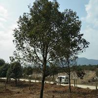 广西香樟树价格