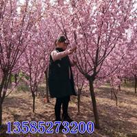 供应梅花类苗木红梅批发、绿梅、美人梅价格、榆叶梅产地、珍珠梅