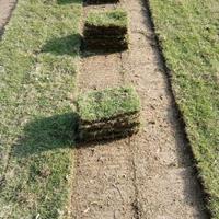 安徽滁州马尼拉草坪低价销售
