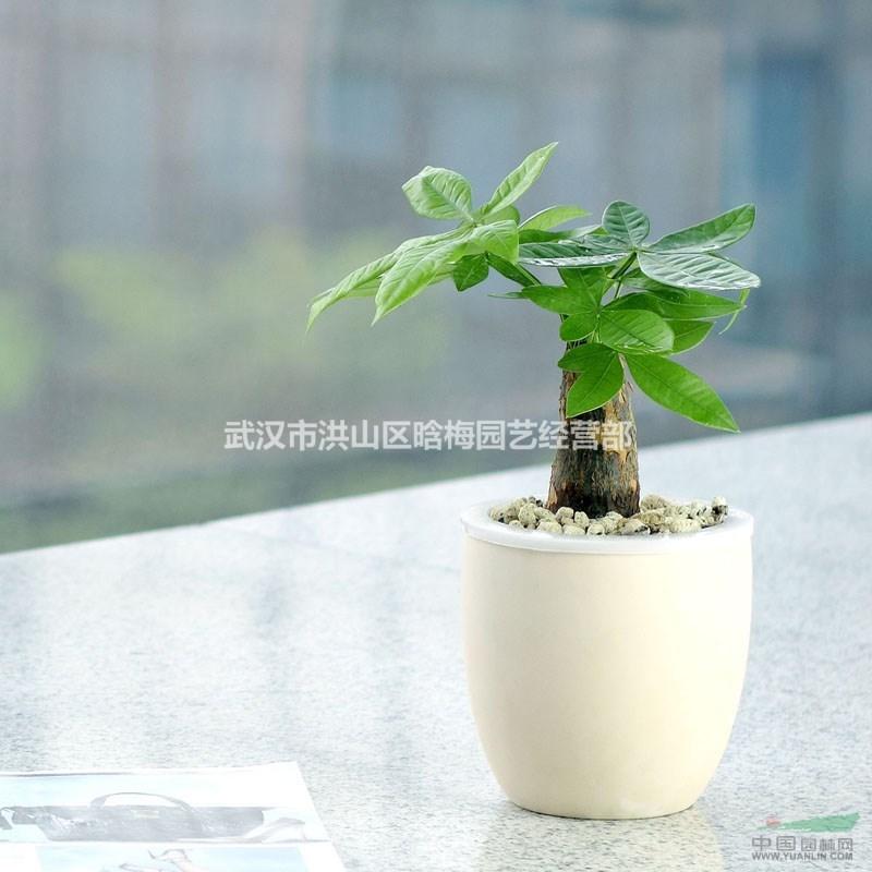 武汉植物租摆小发财树盆栽,吸甲醛防辐射的植物瓜栗发财树盆栽