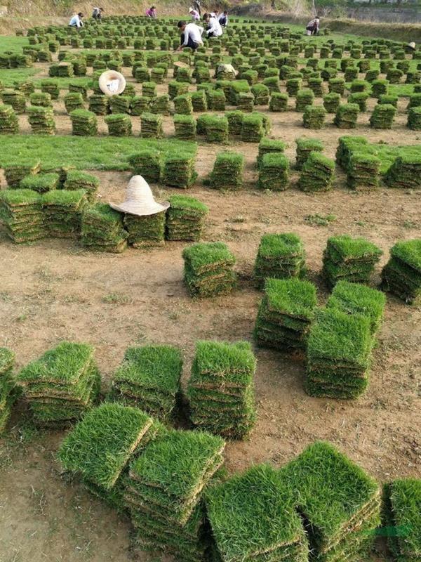 湖南省郴州市精品马尼拉草皮