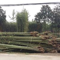 哪里有斑竹出售.竹子批发基地.2公分刚竹价格