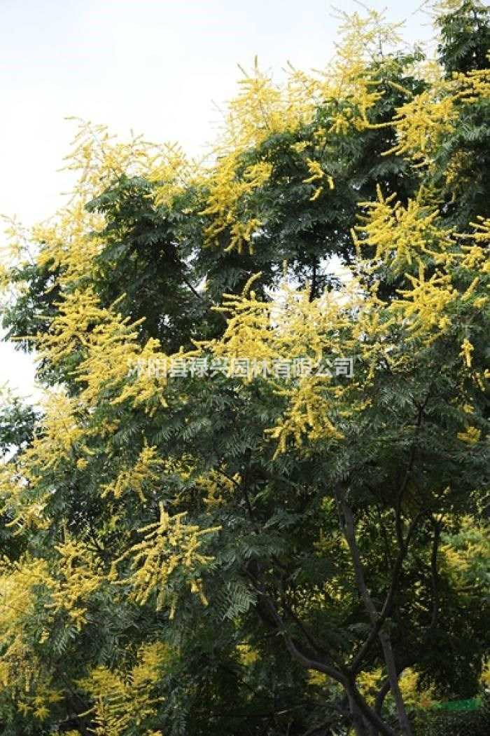 欒樹價價格表 欒樹適合種植在什么地方 欒樹圖片
