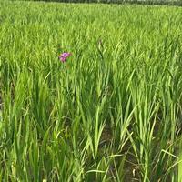 常绿、西伯利亚鸢尾水生植物
