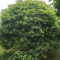 浙江湖州低价处理100棵5.5米-6米桂花