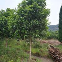 浙江湖州处理2.5米桂花,树形一般