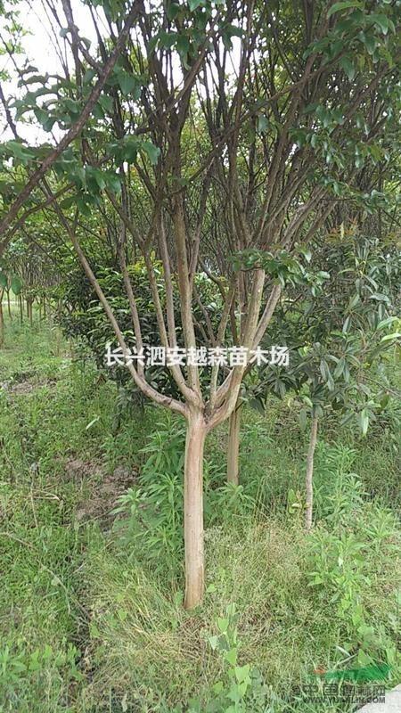 浙江湖州处理8公分紫薇 150棵
