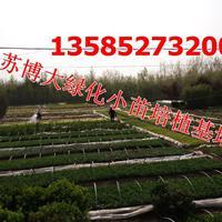 供應大葉黃楊小苗高度10-15公分大葉黃楊床苗產地批發價格直