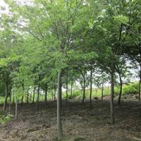 榉树小苗 大规格的榉树哪里便宜 榉树是常绿还是落叶
