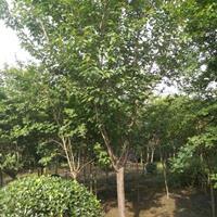日本樱花、早樱、晚樱、红樱花、低分枝樱花、四川樱花树