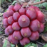 遂川商龙农科繁育改良布福娜黑老虎五味子大血藤种子种苗批发