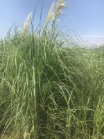 蒲苇、细叶芒、狼尾草观赏草