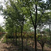 优质特价榉树产地直销