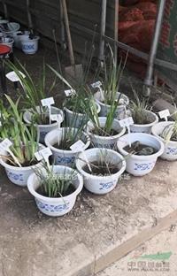 大量供应蒲苇,芦苇,花叶芒,水葱,菖蒲,美人蕉等水生植物
