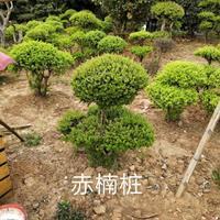 江西赤楠桩2批发/供应