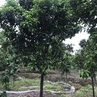 浙江嵊州香泡树  柚子树