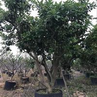 柚子树各种规格批发