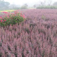 30cm-50cm红叶小檗苗红叶小檗工程苗紫叶小檗绿化苗基地