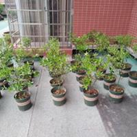 湖南果树盆栽|金桔果树苗批发|挂果脆皮金桔盆栽
