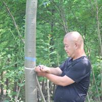 榉树 榉树基地 嘉兴榉树 榉树价格